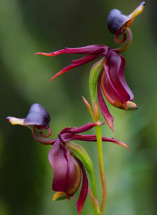 Orquídea Pato Voador (Foto: Reprodução/ World of Flowering Plants)