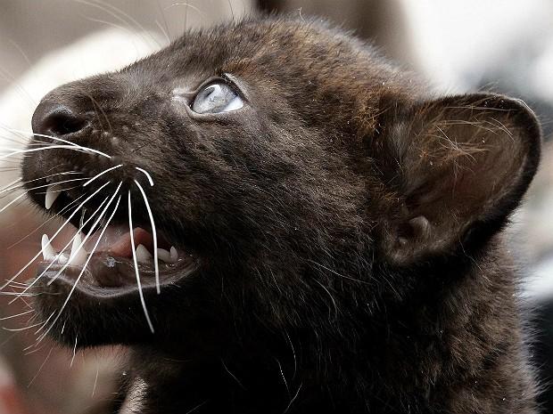 Pantera negra (Foto: Tobias Schwarz/Reuters)
