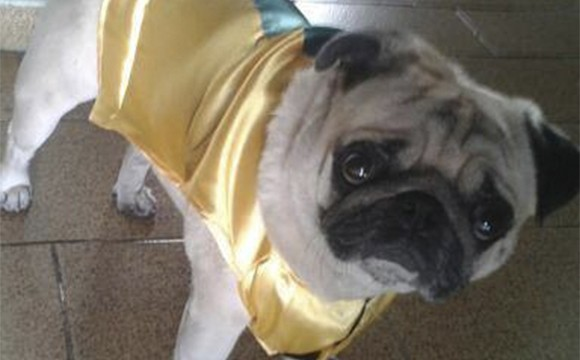 Cão da raça PUG desaparecido em Quatis (Foto: Allan e Juliana)