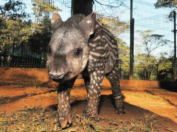 Matilda é o nome da nova anta do zoológico de Brasília (Foto: Renato Araújo/Agência Brasília)