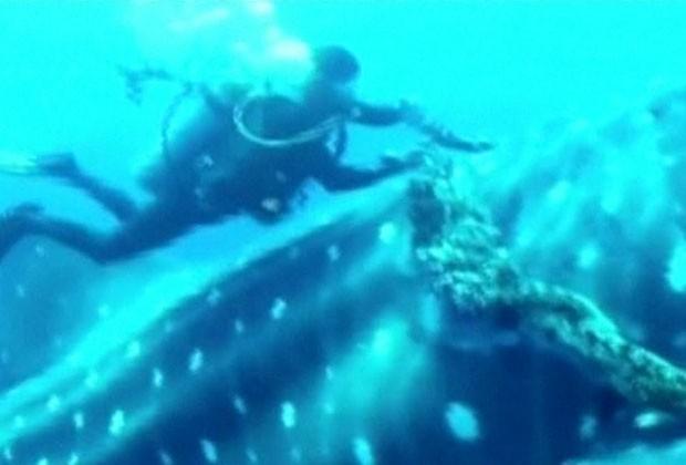 Corda deixou cicatrizes no tubarão-baleia grávido. (Foto: BBC)
