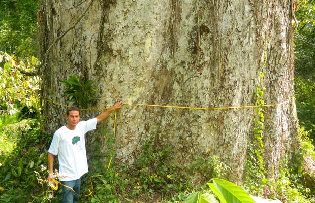 Adriano Oliveira, técnico do Instituto Cabruca, mede o maior jequitibá do Brasil (Foto: Nelson Moraes )