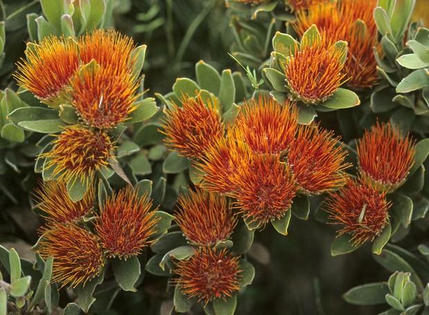 Um dos belos exemplos da flora do Cabo é a protea Leucospermum oleifolium  (Foto: Haroldo Castro/ Época)