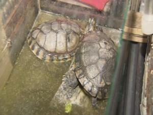 Tartarugas em Cativeiro (Foto: Reprodução/TV Tribuna)
