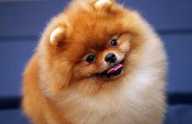 cães - LULU DA POMERÂNIA