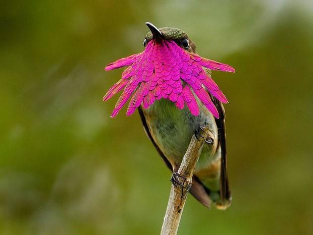 20 beija-flores (Foto: Knut Eisermann / Reprodução)