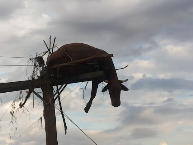 Animal estava morto quando foi encontrado em cima de poste no RS (Foto: Flávio Robalo/Arquivo pessoal)