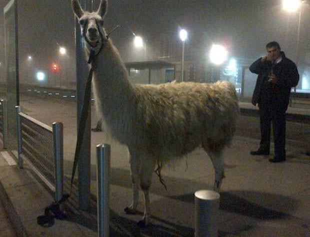 Lhama chamada 'Serge' foi amarrada a um poste e depois devolvida para circo (Foto: Reprodução/Twitter/Xavier CAPPELAERE)