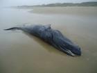 Filhote de baleia jubarte é encontrado morto no Litoral Norte do RS