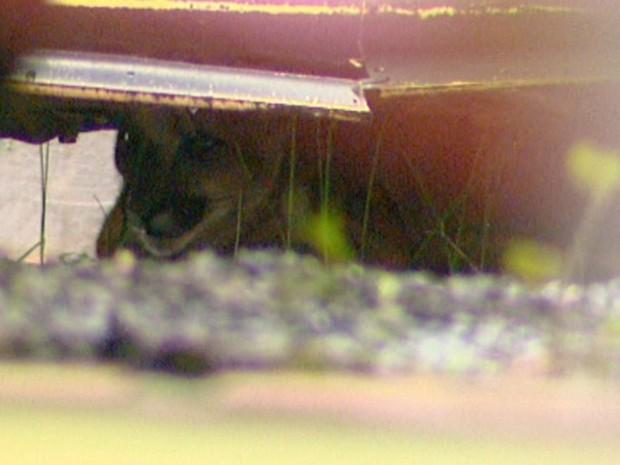 Onça se escondeu embaixo de carros em loja de Tambaú (Foto: Reprodução/EPTV)