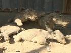 Animais empalhados e apenas um tigre: conheça o 'pior zoo do mundo' na Faixa de Gaza