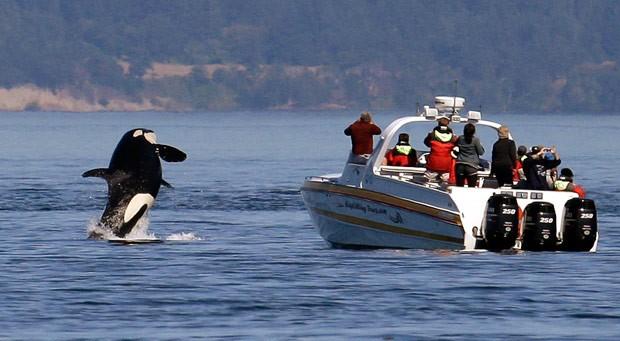 Orca salta próximo a barco quando turistas olhavam para o outro errado (Foto: Elaine Thompson/AP)