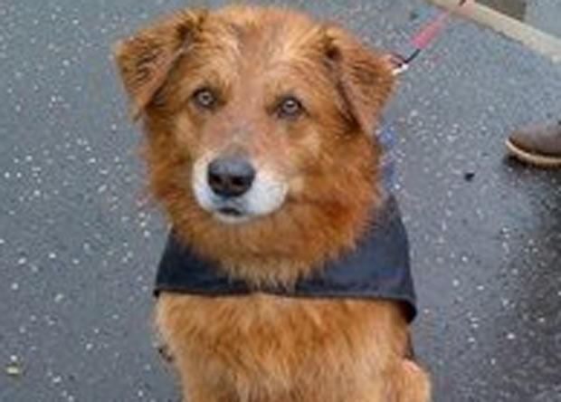 Raposa foi salva graças à ajuda do cão 'Rover'. (Foto: Divulgação/Scottish SPCA)