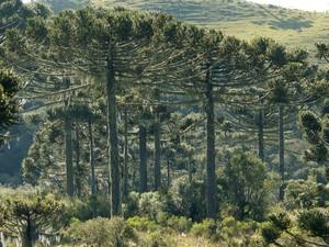 Floresta de Araucária é um dos focos do projeto (Foto: Haroldo Palo Jr./Divulgação)