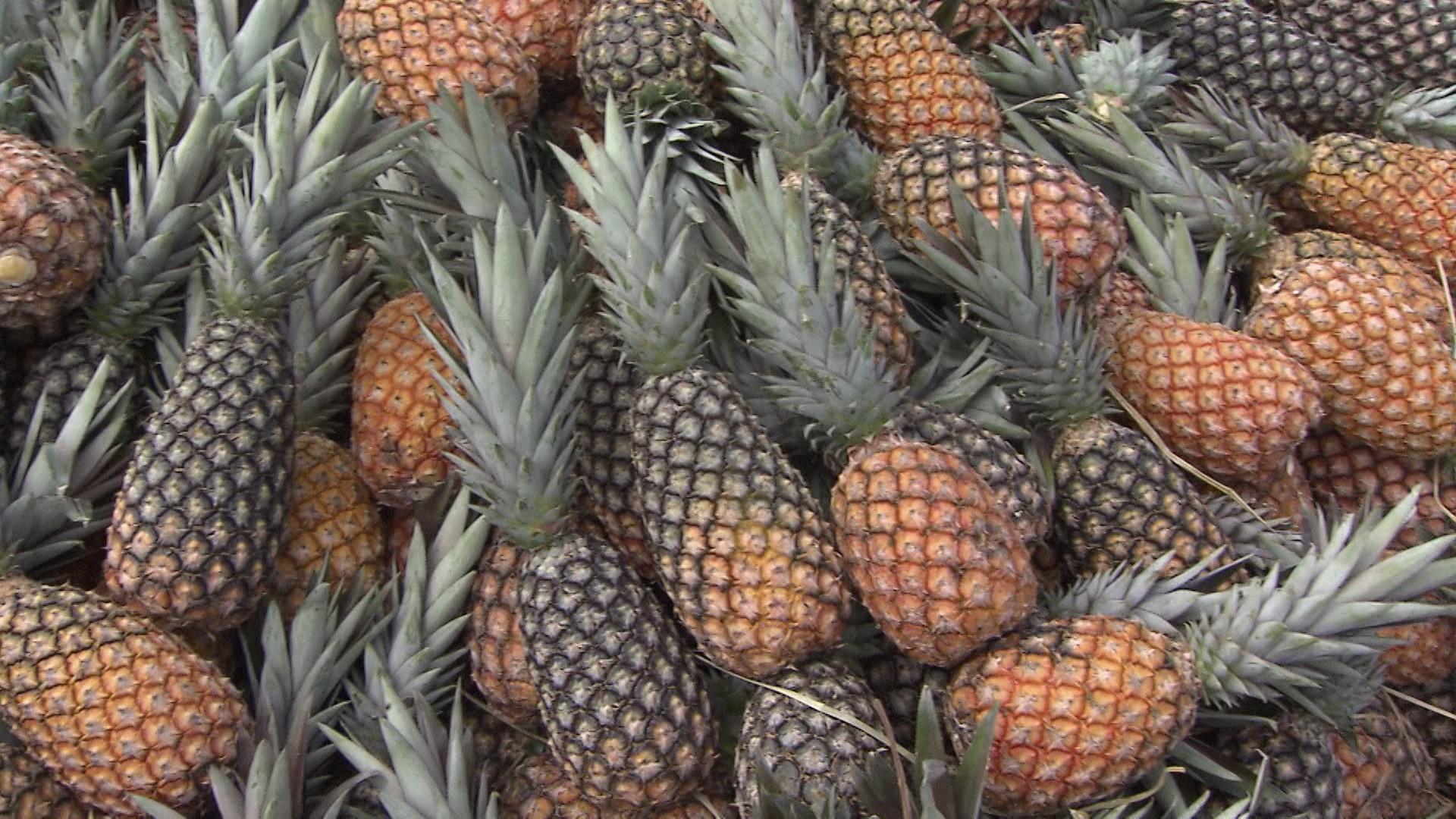 Itaberaba é responsável por 50% da produção de abacaxi do estado (Foto: Divulgação)