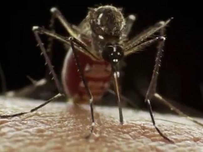 Aedes aegypti transmite zika, dengue e chikungunya