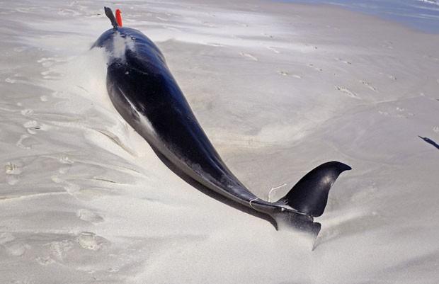 Dezenove baleias-piloto encalharam em uma praia de Noordhoek (Foto: Schalk van Zuydam/AP)