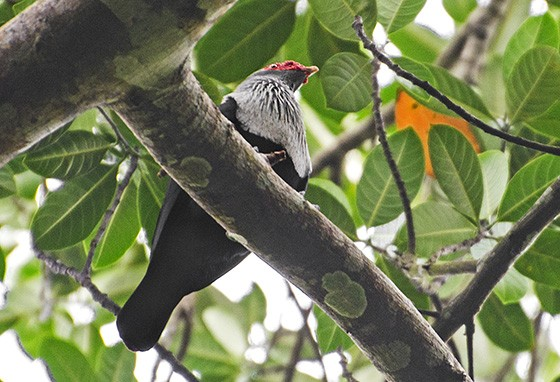 Um pombo-azul-de-seicheles empoleirado no alto de uma árvore na Reserva Natural Valée de Mai (Foto: © Haroldo Castro/Época)