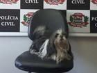 Polícia recupera cadela da raça shitzu furtada em Rio Preto