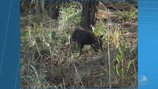 Ameaçado de extinção, lobo-guará nasce em parque no oeste da Bahia