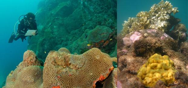 À esquerda, mergulhador durante monitoramento de recifes de corais. À direita, corais saudáveis e branqueados em Maracajau (RN). Da frente para trás as espécies são 'Porites astreoides' (a amarela da frente), 'Siderastrea stellata' (de cor rosa) e no meio da Siderastrea tem uma pequena colônia de Favia gravida (que está branqueadinha) e por último a Millepora alcicornis (espécie muito abundante nos recifes mais costeiros, é também chamado de coral-de-fogo) que está maioritariamente branqueada (isso porque esta foto foi de uma expedição do Programa Nacional mesmo no meio de um evento de branqueamento) (Foto: Divulgação/Zaira Matheus)
