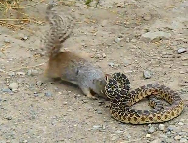 Esquilo corajoso foi filmado atacando cobra. (Foto: Reprodução/YouTube)