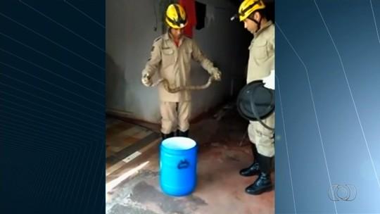 Jiboia é encontrada em cima de máquina de lavar em Morrinhos, GO