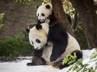 Panda de 7 meses se diverte pela 1ª vez na neve após zoo criar 'nevasca'