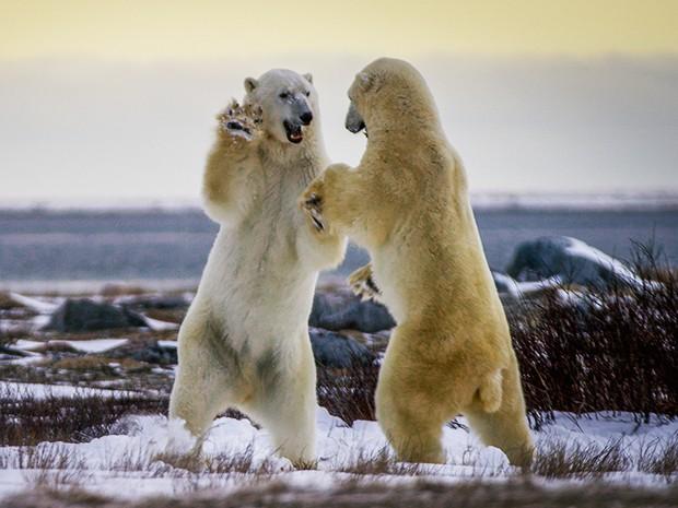 Os animais também brigam entre si (Foto: Gshow)