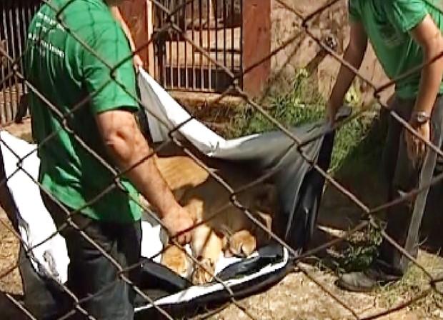 casal de leões tem 14 anos e cada um pesa mais de 200 quilos (Foto: Reprodução TV Tem)