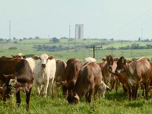 Gado na Zona Rural de Campinas, SP (Foto: Reprodução/ EPTV)