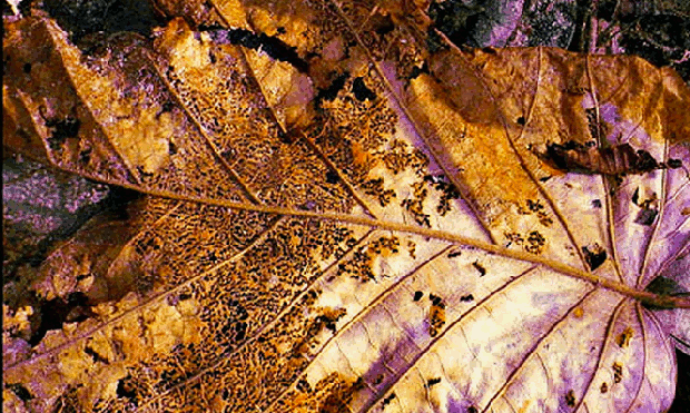 Folha em decomposição (Foto: Flickr)