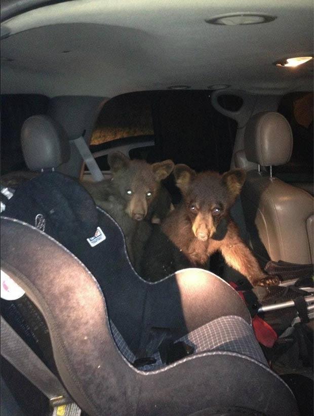 Filhotes de urso flagrados dentro de carro na noite de sábado. (Foto: Snowmass Village Transportation Department/Reprodução)