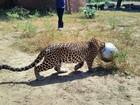 Leopardo é flagrado com panela entalada na cabeça na Índia