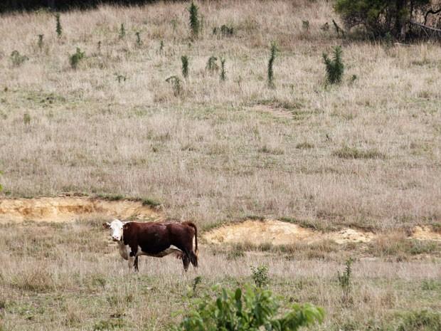Vaca caminha em pasto seco em Jasper, no estado de Indiana, sob uma temperatura de 38ºC. Seca extrema deve ser constante nos próximos anos, dizem cientistas. (Foto:  John Sommers II/Reuters)