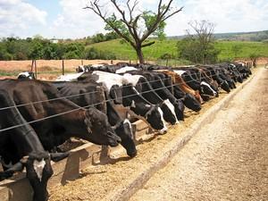 Vacas leiteiras de Pompéu (Foto: Carlos França/Arquivo Pessoal)