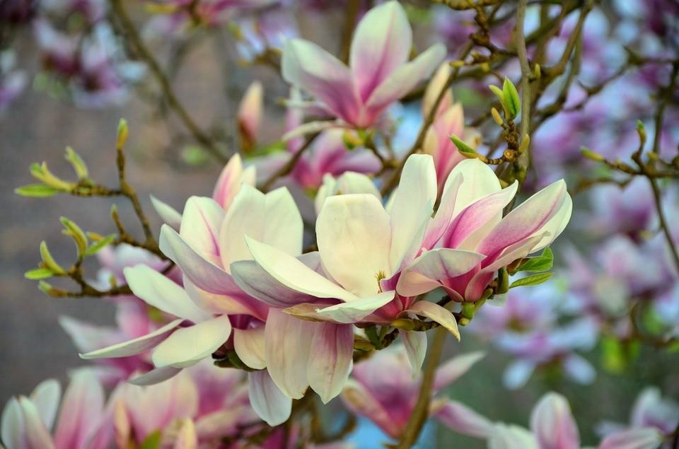 Magnólia, que possui características semelhantes a da flor ancestral (Foto: Pixabay/ Congerdesign/ Creative Commons)