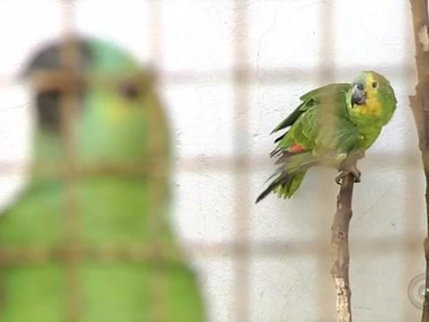 Araras, maritacas e periquitos são algumas das espécies apreendidas e levadas ao Ceretas (Foto: Reprodução/TV TEM)