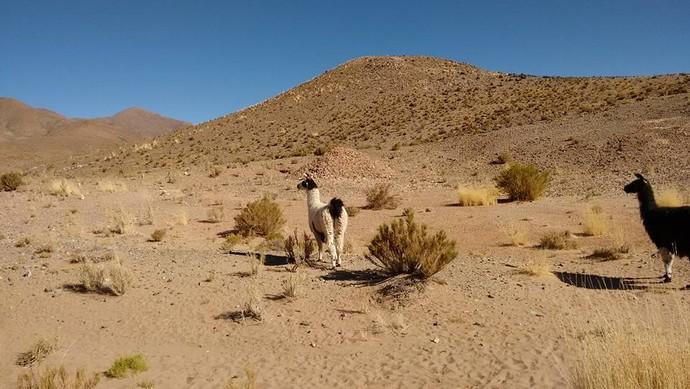 Alpacas, animais característicos dos andes (Foto: Istepôs Aventureiros/Divulgação)