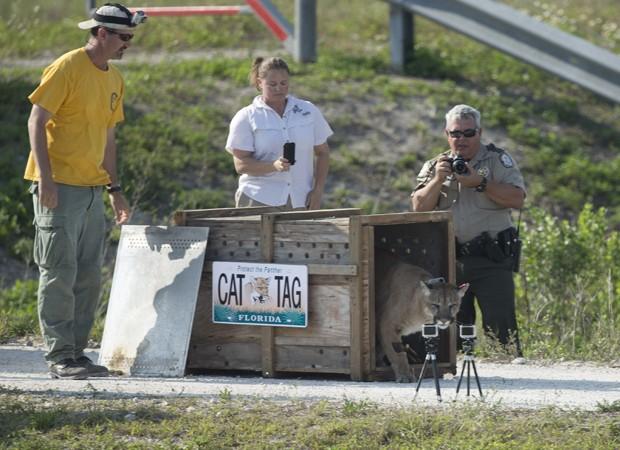 Um puma resgatado ainda filhote na Flórida foi libertado de volta à natureza nesta quarta-feira (3), em Everglades, segundo autoridades da Comissão de Vida Selvagem e Pesca da Flórida (Foto: J Pat Carter/AP)
