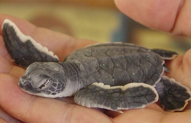 Filhote de tartaruga XYZ, espécie encontrada no Arquipélago das Primeiras e Segundas (Foto: Divulgação/Universidade de Michigan)