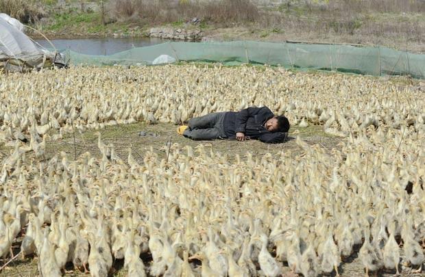 Chinês foi flagrado tirando um cochilo rodeado por centenas de patos. (Foto: Reuters)