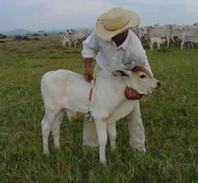 bezerro-fita-metrica (Foto: Divulgação/ Guapore Pecuaria)