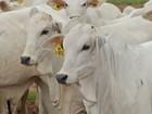 Cabeça de bezerro de aptidão leiteira custa, em média, R$ 764,17, em RO