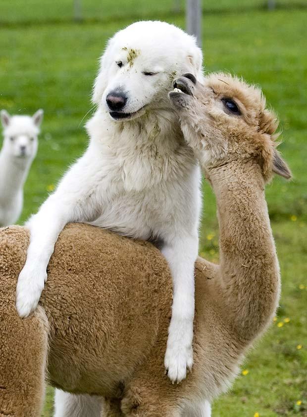 A cadela chamada 'Clarence' e a alpaca 'Cindy' ganharam destaque em 2010 por causa da amizade em uma fazenda em Goeming, na Áustria. Os dois animais vivem juntos desde que eram filhotes. (Foto: Kerstin Joensson/AP)