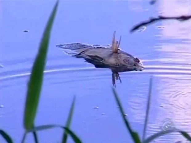 Mortandade de peixes e mau cheiro incomadam moradores da região do Lago da Serra, em Tietê (SP) (Foto: Reprodução TV TEM)