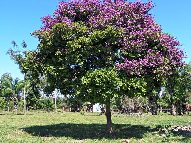 No mesmo período no ano passado, a árvore chegou a ficar com algumas partes roxas  (Foto: Val Sales/Arquivo pessoal)