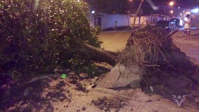 Árvore tombou em São Vicente por causa das rajadas de ventos (Foto: Reprodução/TV Tribuna)