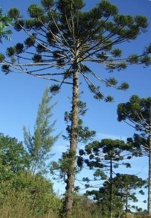 Araucaria angustifólia (Foto: Wikimedia Commons)
