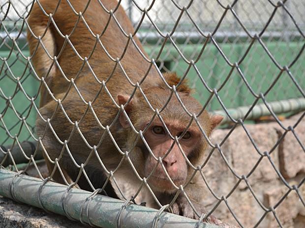 Um dos macacos que vivem no macacário do Butantan (Foto: Maria Teresa Valentini/Instituto Butantan)